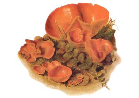 Orange Pilze Im Garten by Orange Becherpilz Peziza Aurantia Pilzbuch