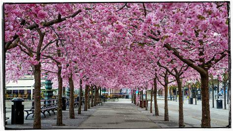 cherry blossom  stockholm dennis thern blog