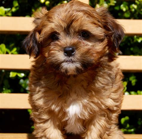 cavoodle x shih tzu puppies for sale cottage canines australia