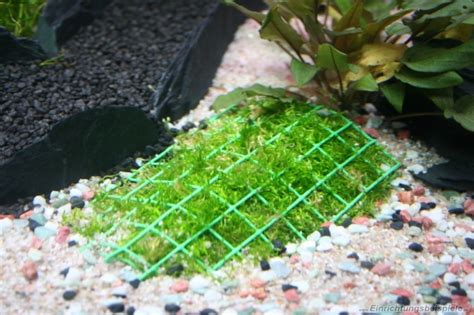 membuat tanaman aquascape subur aquaplantarium riccia fluitans