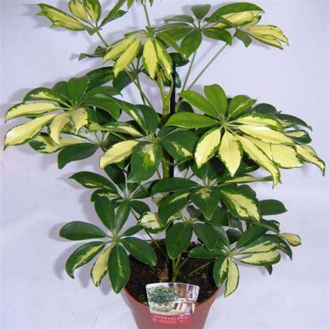 schefflera plant schefflera arboricola variegated umbrella plant florida plants palms and