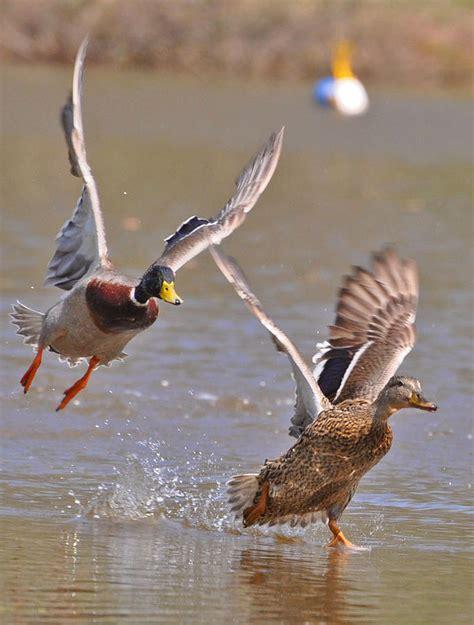 mary woodin england illustrator mallard ducks mallards taking off photograph by mary anne williams