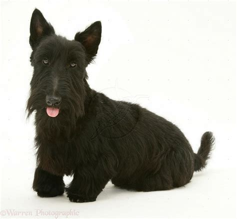 scottish dogs scottie canine companions dogs and scottie dogs