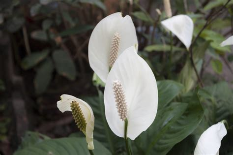 clean air  peace lilies  peace lily plants