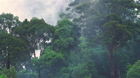 a forest in the clouds my year among the mountain gorillas in the remote enclave of dian fossey books stock footage by banana republic images