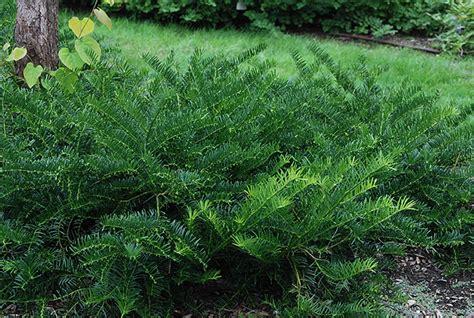 Cephalotaxus Duke Gardens by Duke Gardens Plum Yew Oregon State Univ Landscape Plants
