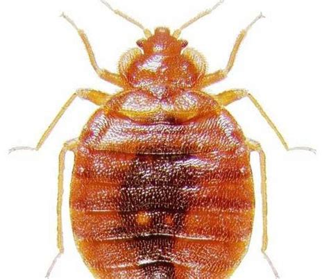 things bed bugs hate study finds bedbugs more deadly than originally thought