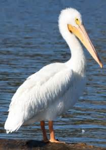pelicans colors the american white pelican is a large aquatic bird the