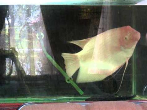 Bibit Ikan Gurame Padang gurame padang lagi