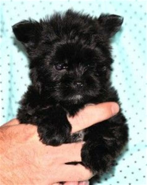 how big does a teacup shih tzu get teacup shorkie puppies for sale yorkies shorkie puppies for sale