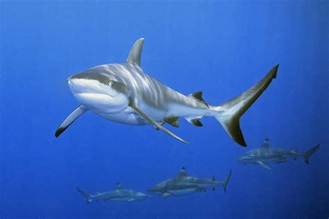 imagenes leones vs tiburones ostia avvistato squalo in mare rivissute scene della saga