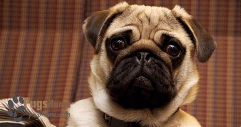 pug puppies for sale in new york do you want the best pug puppy in new york ny