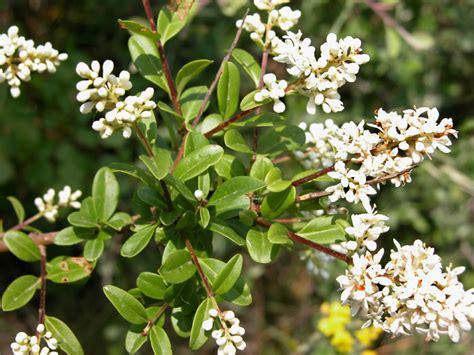 pianta con fiori bianchi molto profumati ligustro