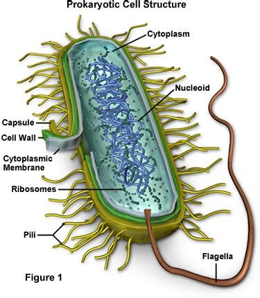 diagram of bacterial cell structure molecular expressions cell biology bacteria cell structure