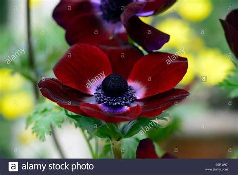 anemone bordeaux anemone coronaria bordeaux maroon burgundy dark red spring