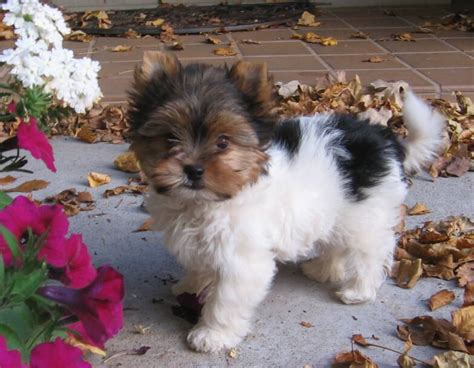 tri color yorkie yorkie with breeds picture