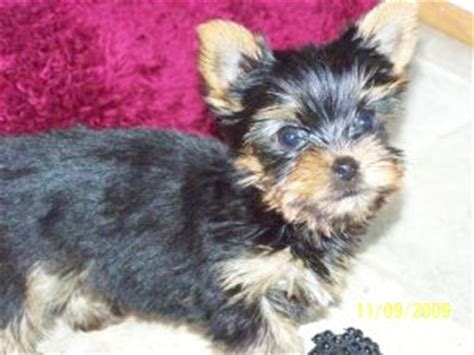 yorkie puppies va terrier puppies in virginia