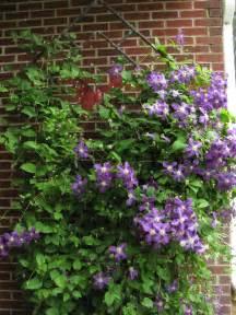 Trellis Clematis clematis cheyenne garden gossip