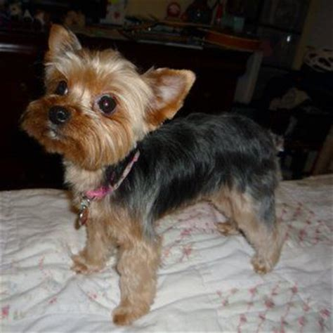 hair cut for yorkie pekachon 23 best images about yorkie poodle haircuts on pinterest