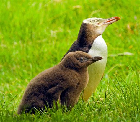 Yellow Eyed Penguin | The Biggest Animals Kingdom