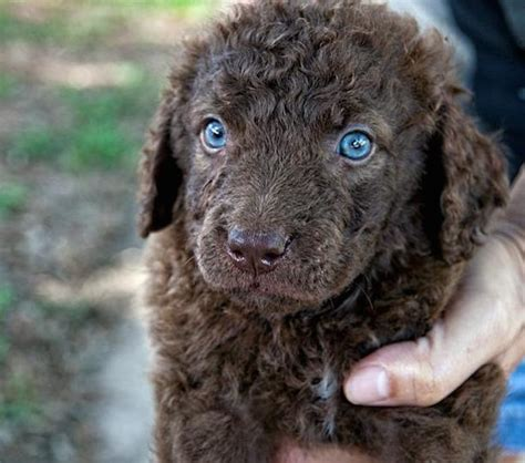 dog house cobello sc chesapeake bay retriever colors 28 images chesapeake retriever colors images pin
