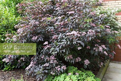 schwarzer holunder black lace gap gardens sambucus nigra f porphyrophylla gerda syn