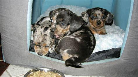 chiweenie pug puppies chiweenie puppy breeds picture