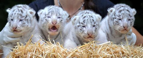 Baby White Tiger white tiger cubs wallpapers images photos pictures backgrounds