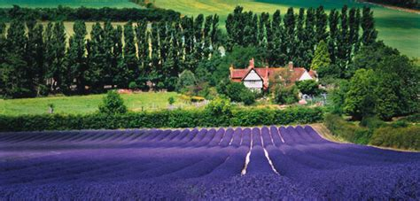 when is lavender in season in michigan lavender festivals and farms to visit 171 bombay outdoors