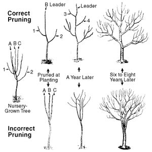 why is it important to prune fruit trees every year north carolina cooperative extension