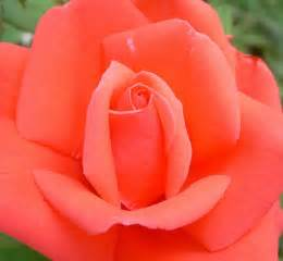 coral colored roses knows