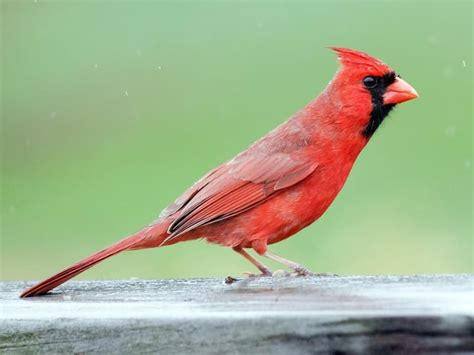 what color is cardinal annies home the cardinal bird