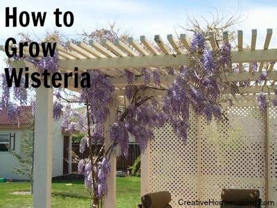 tips for growing and caring for wisteria vines gardening pinterest wisteria i want and vines