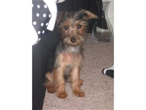yorkies for sale in gainesville fl terrier puppies for sale