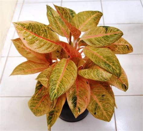 Lu Hias Di Yogyakarta harga tanaman hias di yogyakarta tanamanbaru