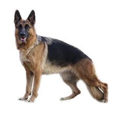 rottweiler vs german shepherd comparison compare boxer vs german shepherd difference between boxer and german shepherd