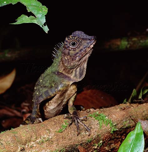 Rainforest lizard photo WP01687