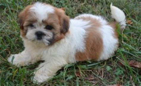 free puppies pittsburgh pa stunning shih tzu puppies for sale pittsburgh pa free classifieds in usa
