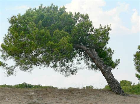 Type Of Trees file leaning tree near beach jpg wikimedia commons