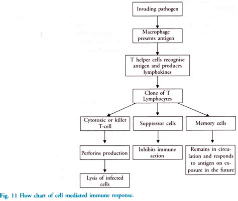 immune system flowchart immune system flowchart create a flowchart