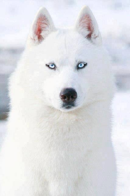 wolf husky puppies with blue eyes pinterest the world s catalog of ideas