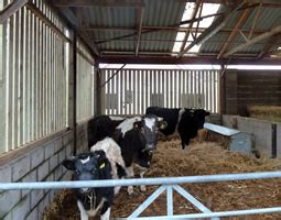 housing cattle the accidental smallholder