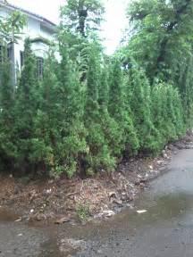 Tanaman Hias Cemara Embun pohon cemara lilin jual tanaman hias