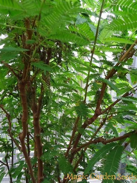 jurema mimosa hostilis exotic plants tropical plants