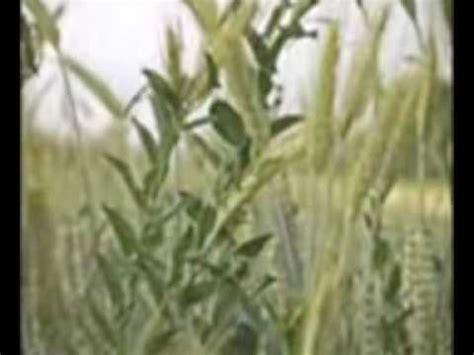 parabola del trigo y la mala hierba youtube la mala hierba y el trigo youtube