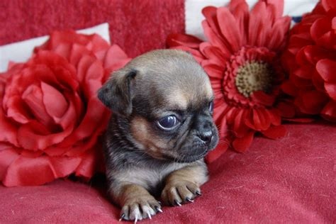 puppy pic chug chihuahua pug mix info temperament grooming pictures