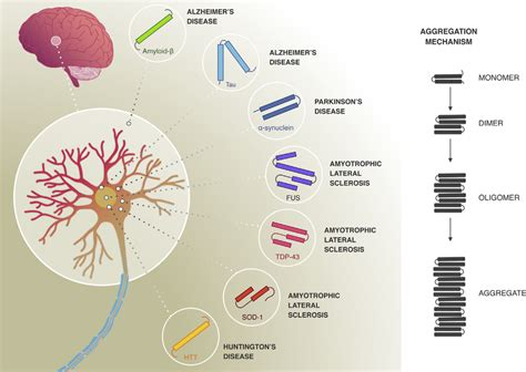 protein aggregation protein aggregation in neurodegenerative diseases in many