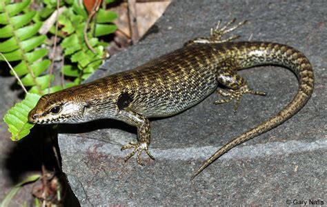 australian backyard lizards australian backyard lizards 28 images brooks ctenotus