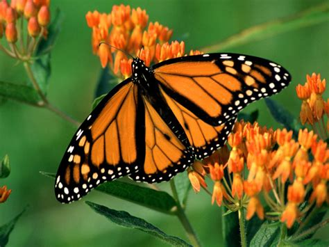 monarch butterfly monarch butterfly 14 desktop wallpaper hivewallpaper com