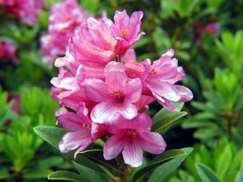 fiore rododendro rododendro fiore florario